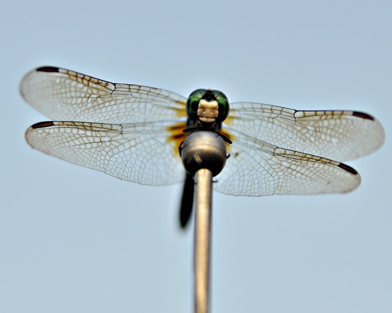 Dragonfly on my antenna