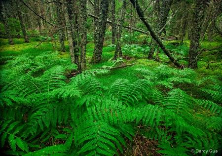 Barred Island Ferns