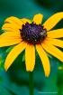 Black-Eyed Susan....