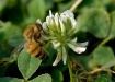 Honey Bee in Clov...