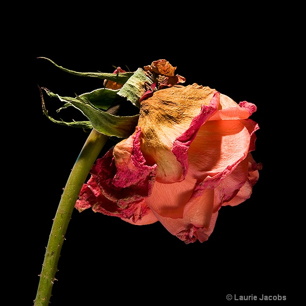 Rose was a Rose - ID: 10596582 © Laurie H. Jacobs