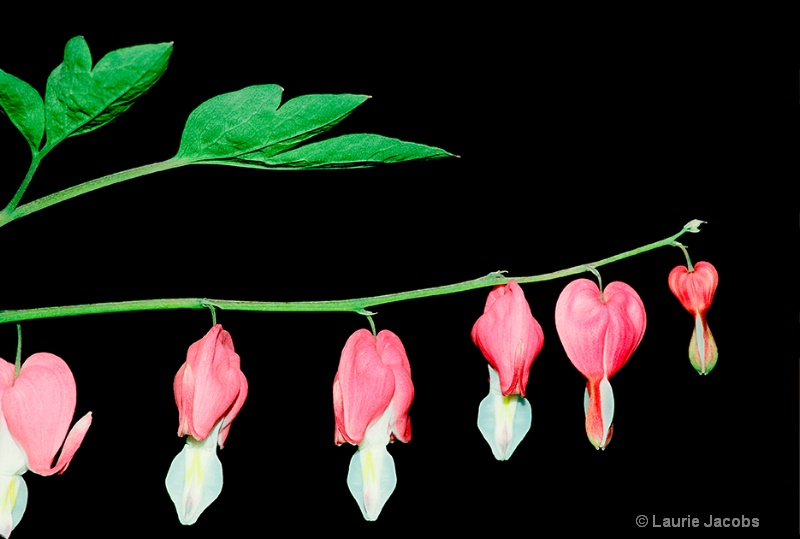 Bleeding Heart - ID: 10596585 © Laurie H. Jacobs