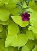 1 Purple Bloom