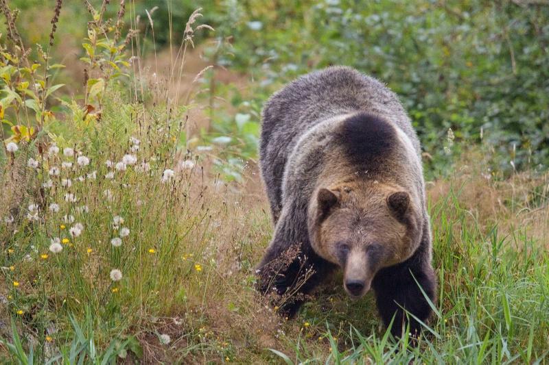 Grizzly Bear (Ursus arctos horribilis) - ID: 10604489 © John C. Nyren