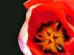 Tulip Nova