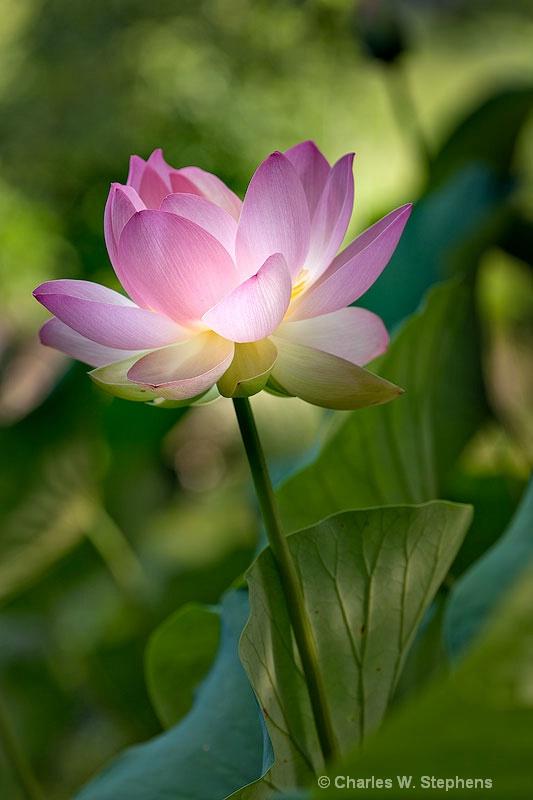 Lotus Light - ID: 10620406 © Charles W. Stephens