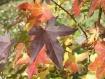 Sweetgum in fall