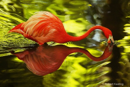 Water Flamingo