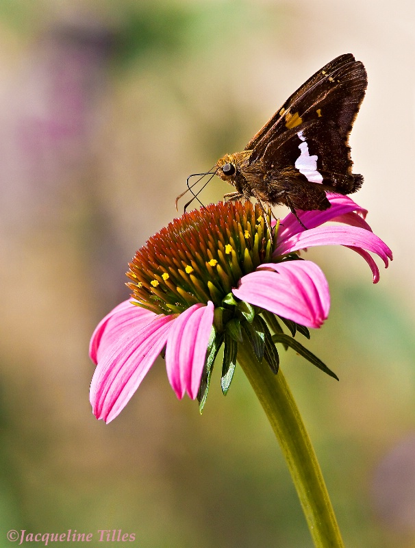 Silver Spotted Skipper on Coneflower - ID: 10627622 © Jacqueline A. Tilles