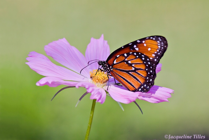 Queen Butterfly on Pink Cosmos - ID: 10628010 © Jacqueline A. Tilles