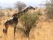 Giraffe with Baob...