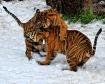 Tigers in the Sno...