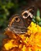 Butterfly on Mari...