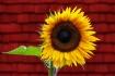 Happy Flower :)