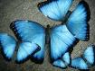 Blue Morpho Art (...