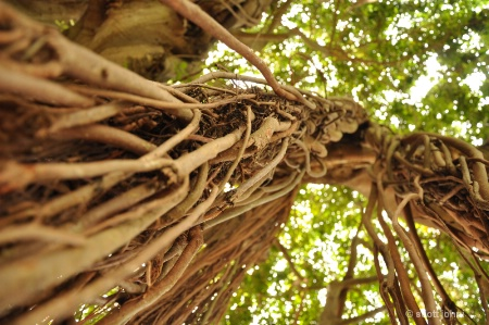 Perspective of a Banyan