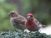 Housefinch & fled...