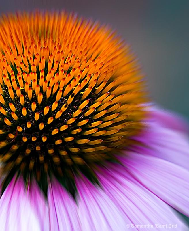 Echinacea...Up Close