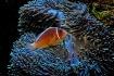 Anenome/Fish