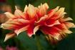 Red & Gold Dahlia...