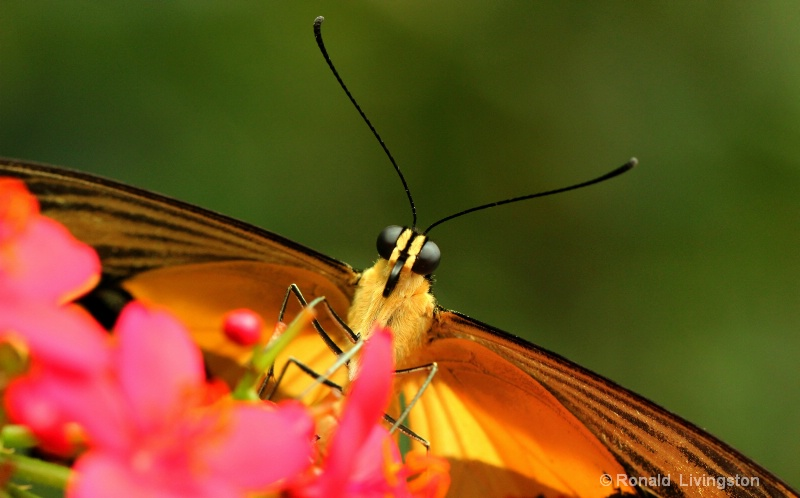 Frontal Butterfly - ID: 10672771 © Ron Livingston