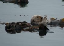 Sleeping Sea Otters
