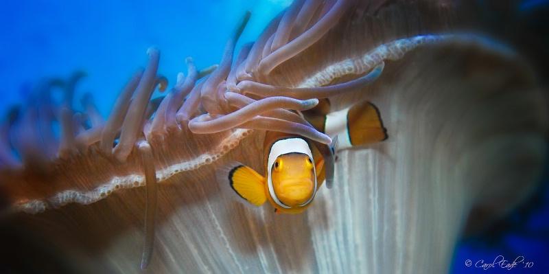 Anemone Clownfish - ID: 10681099 © Carol Eade