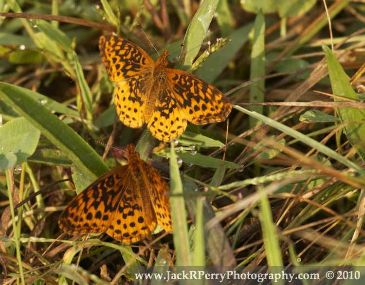 Great Spangled Fritillarys