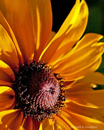 Sunflower at Dusk