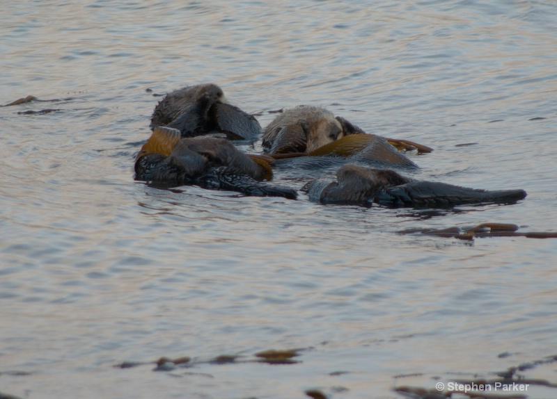 More Sleeping Sea Otters