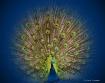 Peacock Blues