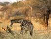 Giraffe in Tarang...