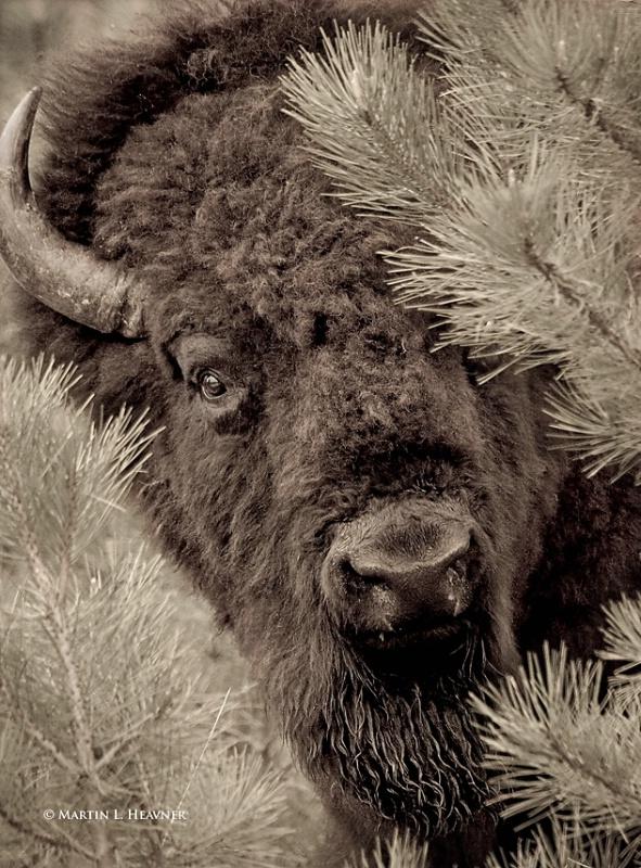 Curious Bison, Custer State Park, South Dakota - ID: 10696925 © Martin L. Heavner