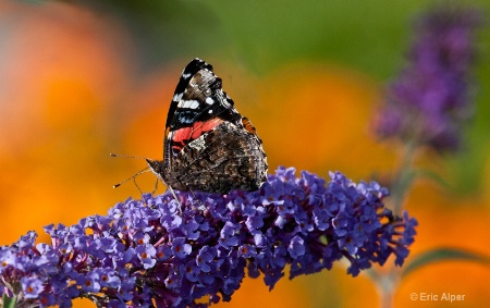 Butterfly and butterfly bush
