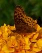 Frittary Butterfl...