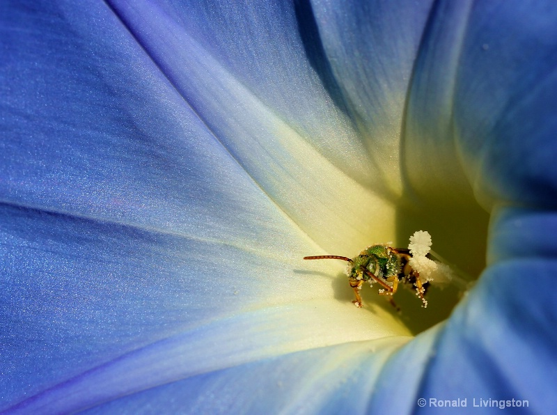 Green Bee in the Blues - ID: 10703608 © Ron Livingston