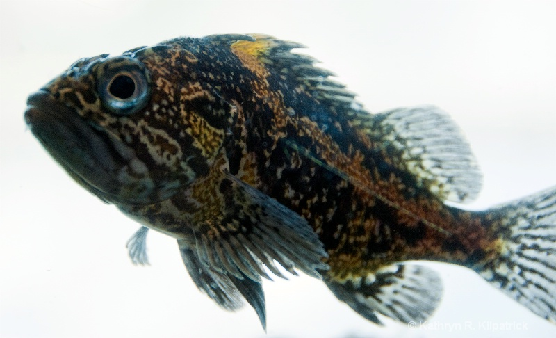 Rockfish - ID: 10706064 © Kathryn R. Kilpatrick