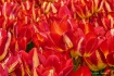 Tulips Galore!