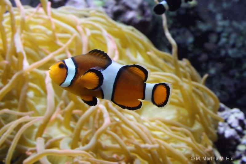 Clown fish - ID: 10718772 © M.  Martha M. Eid