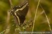 Black Swallowtail...