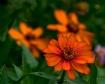 Orange Flowers!