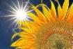 Sun and Sunflower...