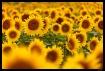 Sunflower Fields ...