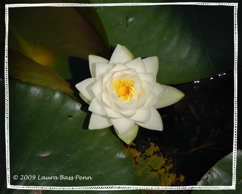water lilly 1 - ID: 10754279 © laura  penn