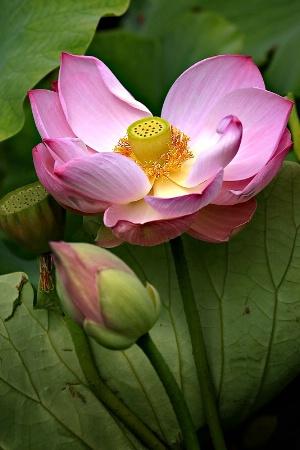 Lotus Glow