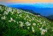 Wildflower avalan...