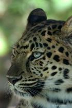 amur leopard  mg 3594