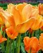 Vivid Orange Tuli...