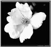 B/W Flower