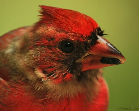 Young Male Cardinal